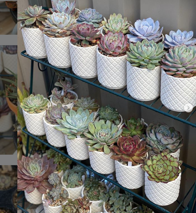 Succulents are budget-friendly