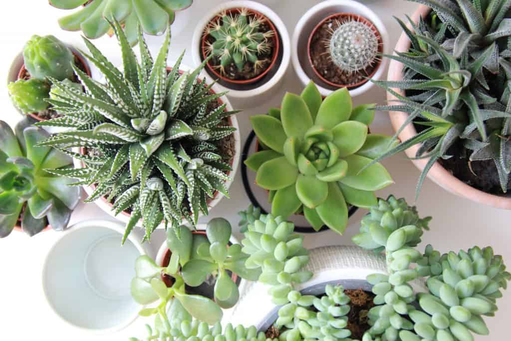 10 Benefits of growing Succulents