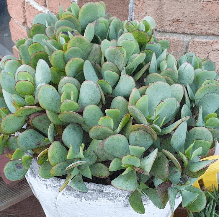 Crassula Arborescens (Silver Jade Plant, Chinese Jade, Money Plant) is a toxic succulent to pets