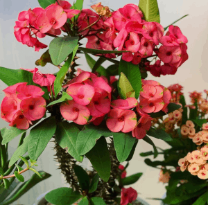 Euphorbia milii crown of thorns is a toxic succulent to pets