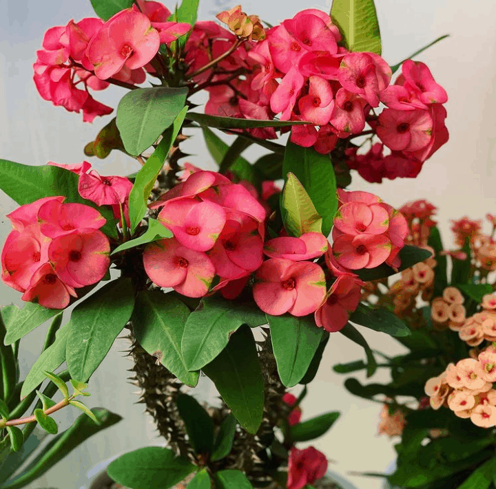 Euphorbia milii crown of thorns is a low light succulent to pets