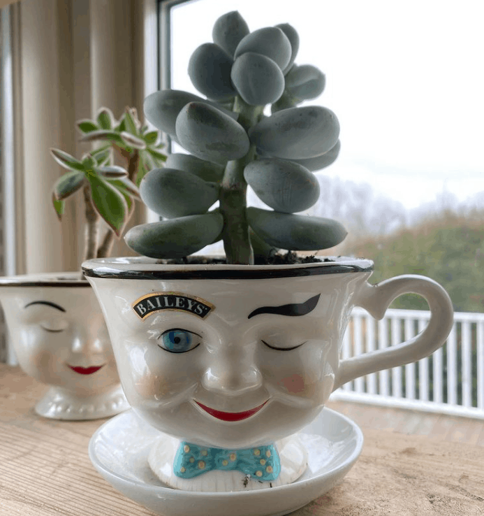 How to care for moonstone succulent pachyphytum oviferum