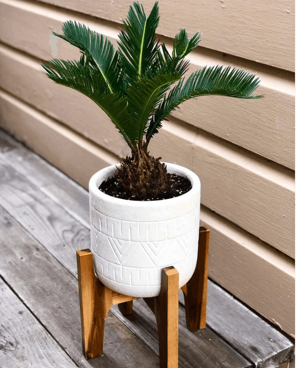 Sago Palm is extremly toxic to animals and humans