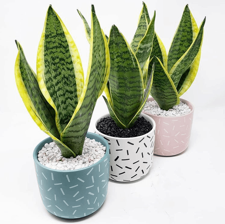 Sanseveria trifasciata Snake Plant is a toxic succulent to pets