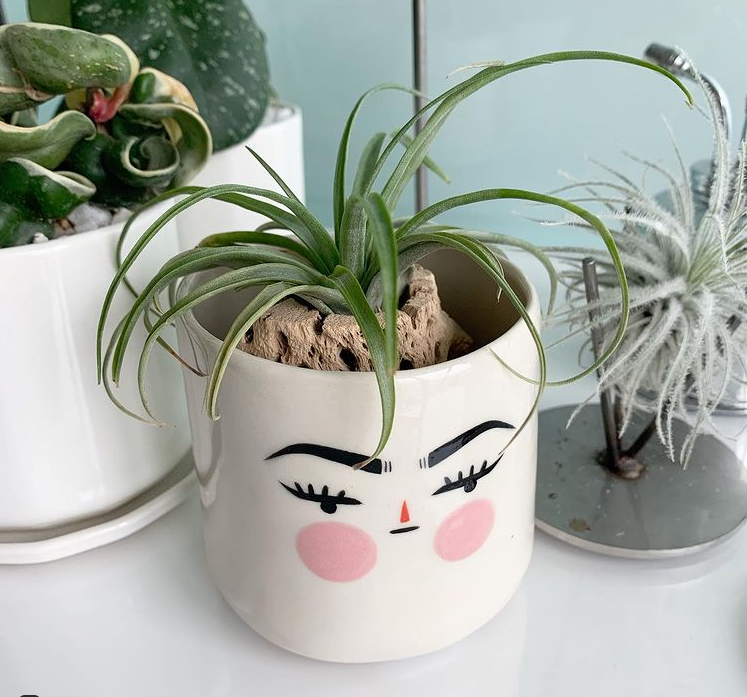 Tillandsia (Air Plant) is a low light succulent