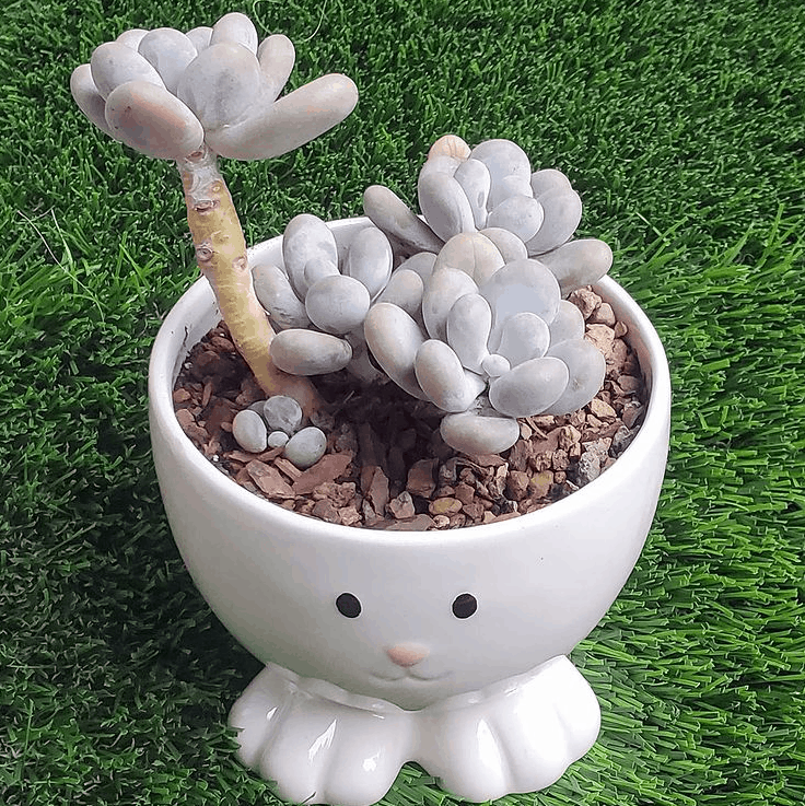 How to care for pachyphytum oviferum moonstone succulent