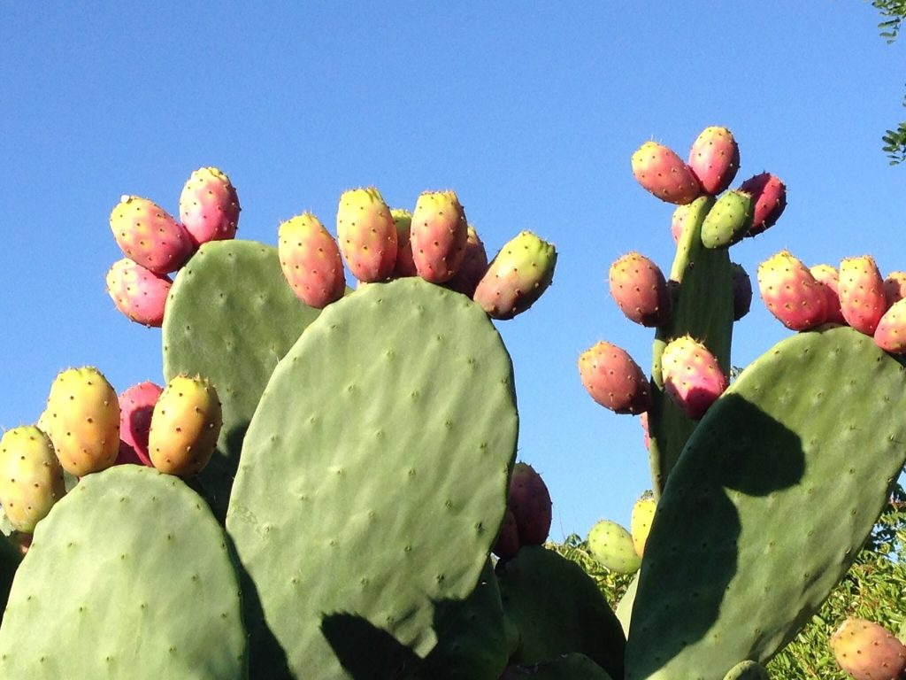 Opuntia Prickly Pear is pet-safe non-toxic cactus