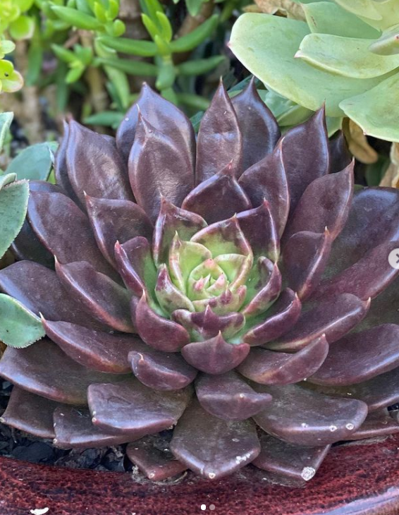 13 Stunning Purple Succulents To Grow And Collect! Echeveria Black Prince