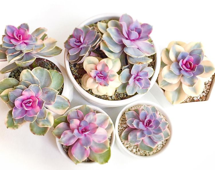 How To Grow Echeveria From Seeds - 3 Steps Easy Guide