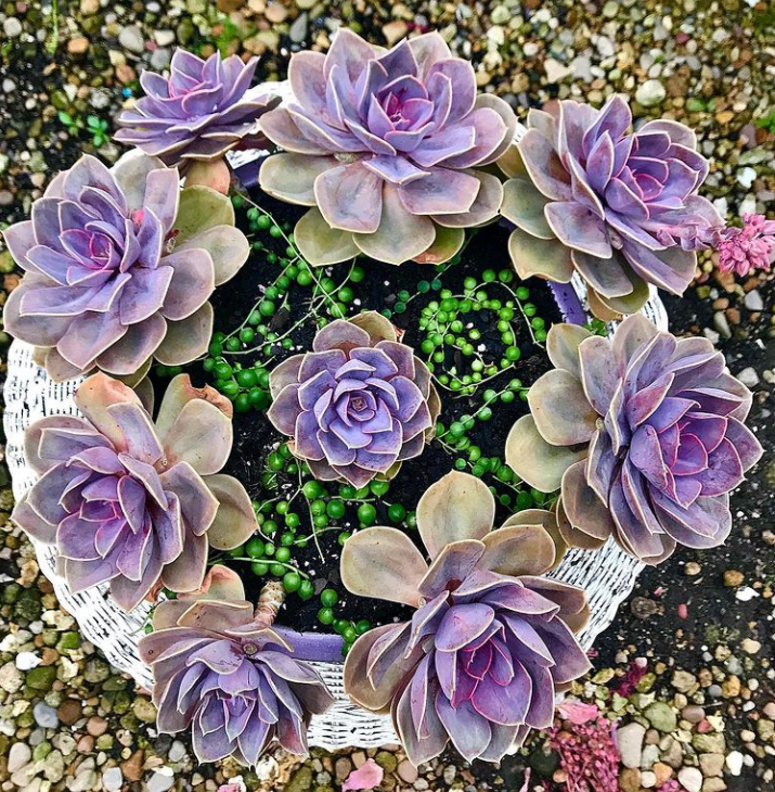 13 Stunning Purple Succulents To Grow And Collect